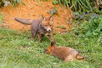 Ewb-fox-cubs-8