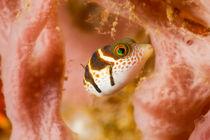 Ewb-puffer-fish-4