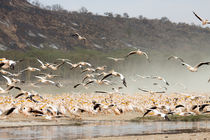 Ewb-pelicans-2