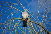 Pigeon-pose