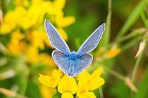 Himmelblauer-blaeuling-maennchen-1