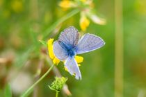 Himmelblauer-blaeuling-maennchen-3