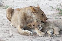 Etosha National Park Namibia Lion (Panthera leo) and cub. von kytefoto