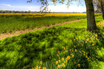 Daffodil Meadow by David Pyatt