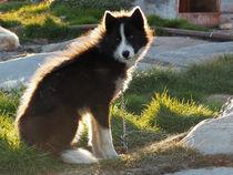 'schlittenhund ' by k-h.foerster _______                            port fO= lio