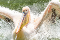 White Pelican Bird In Wilderness Delta Water by Radu Bercan