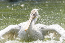White Pelican Bird In Wilderness Delta Water by Radu Bercan