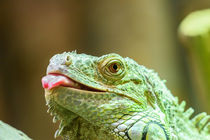 Green Iguana Reptile Portrait On Tree Branch by Radu Bercan