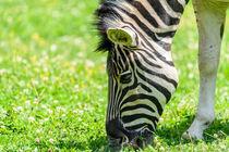 Wild Zebra Grazing On Fresh Green Grass Field by Radu Bercan