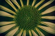Grüner Sonnenhut  von Bastian  Kienitz