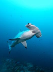Scalloped Hammerhead Shark, Bogenstirn-Hammerhai by Norbert Probst