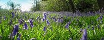 Bluebell-meadow