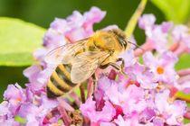 Biene-an-flieder
