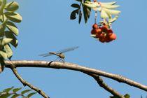 Libelle-auf-dem-ast-einer-eberesche