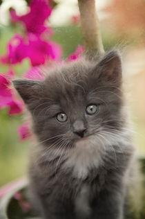 Norweger Kitten / 9 by Heidi Bollich