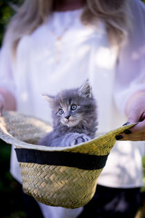 Maine Coone Kitten by Susi Stark