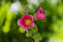 hollyhock soft background by Johan Dingemanse