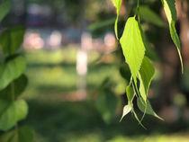 Birch branch with green leaves von Vladislav Romensky