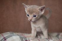 Abessinier Kitten / 23 by Heidi Bollich