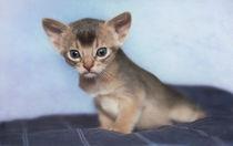 Abessinier Kitten / 24 by Heidi Bollich