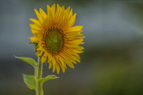 Sunflower by Leo Walter