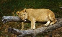 Lion339