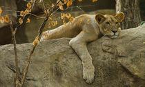 Lion366