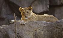 Lion443