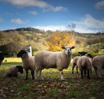 Sheep by Michael Robbins