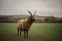Manx Sheep von Michael Robbins