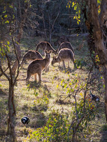 Kangaroos and Magpies, Canberra, Australia by Steven Ralser
