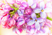 Lilac Flowers von John Williams