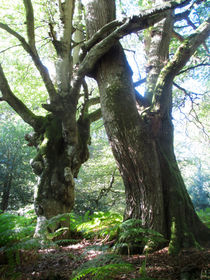 Oak-and-beech-embrace