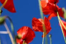 Mohnblumen gen Himmel von Simone Marsig