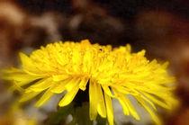 Löwenzahnblüte von Nicc Koch