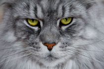 Bright green eyed silver colored Maine Coon von Jessy Libik