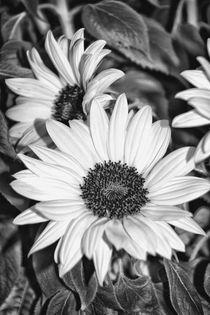 Dsc1990-sonnenblumen