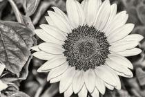 Sunflower von kiwar