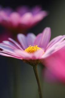 Margariten in rosa von Simone Marsig