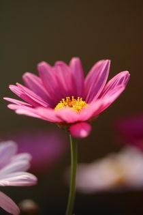 Margariten in pink von Simone Marsig