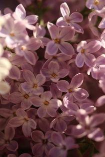 Wie der Flieder so schön blüht... von Simone Marsig