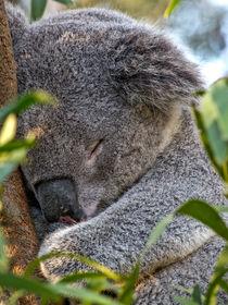 Sleeping Koala by Steven Ralser