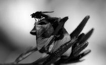 Black-and-white-fly