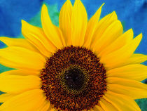 Sonnenblume von Peter Bergmann