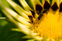 Yelllow-flower-and-wasp