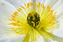 white poppy by nature-spirit