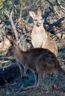 Kangaroos, Canberra, Australia  by Steven Ralser