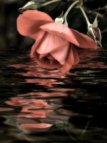 Nachbars-rose