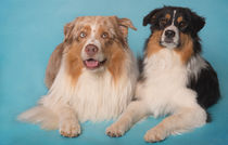 Australian Shepherds / 2 by Heidi Bollich