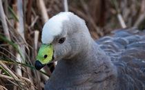 Cape-barren-goose